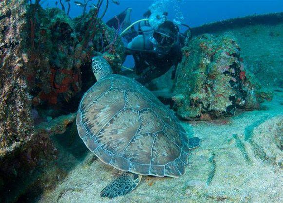 Anguilla Turtle